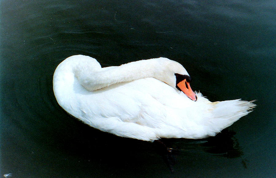 Swan Photograph - Swan At Rest  by Richard Mansfield