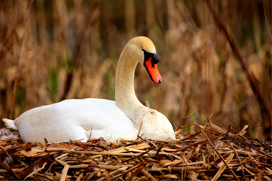 Swan Nesting by Chris Babcock
