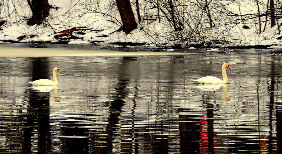 Lake View Digital Art - Swan Song by Aron Chervin