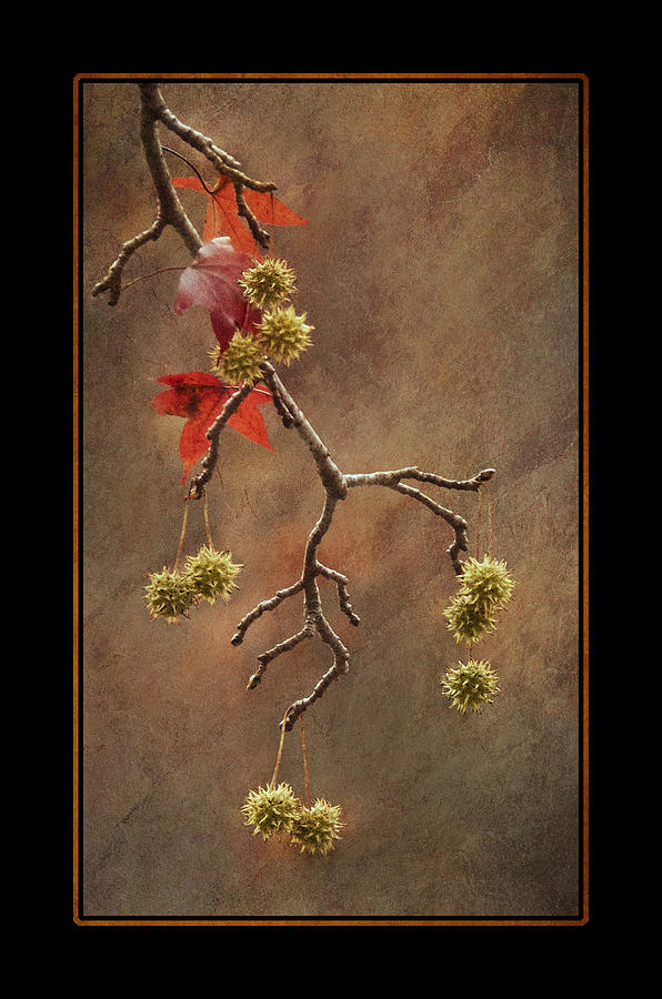 2011 Photograph - Autumn Sweetgum 1 by Lauren Brice
