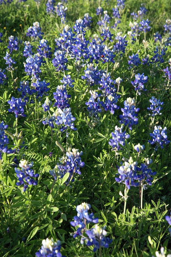 Bluebonnet Photograph - Texas Bluebonnets by Frank Madia