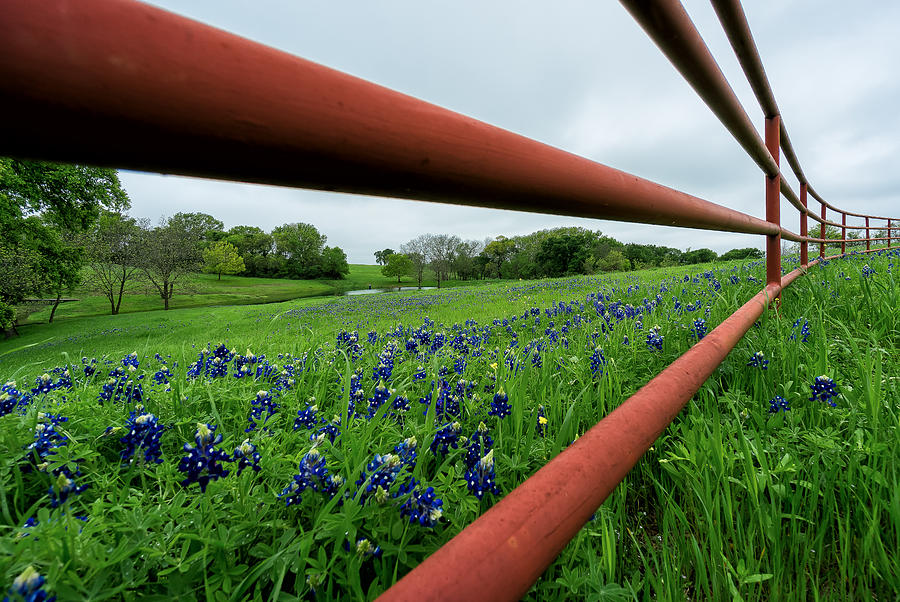 Texas Bluebonnets in Ennis by Robert Bellomy