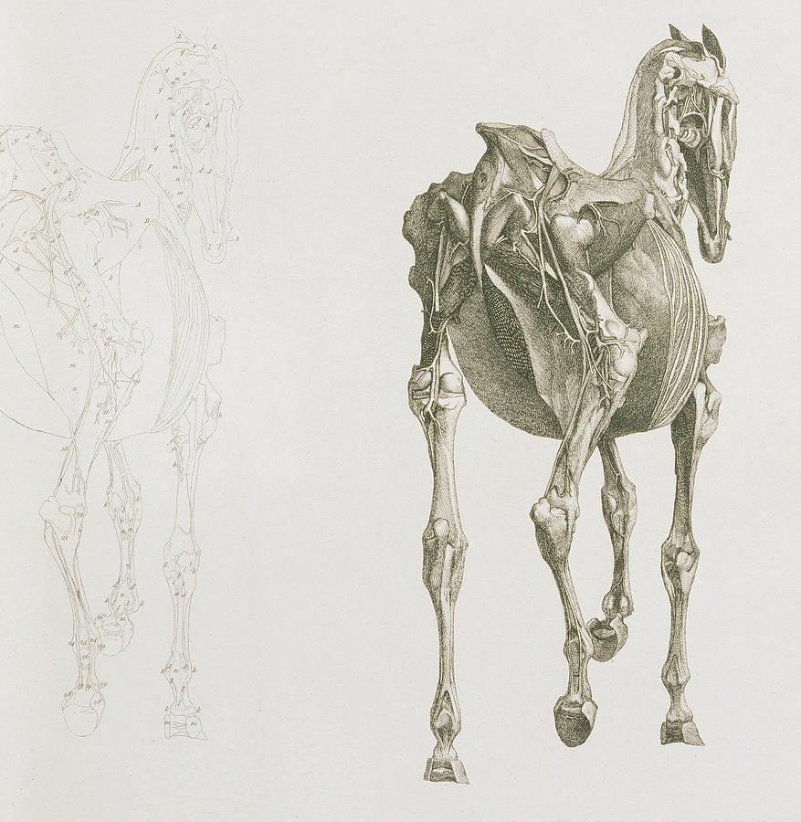 The Anatomy Of The Horse Drawing by George Stubbs