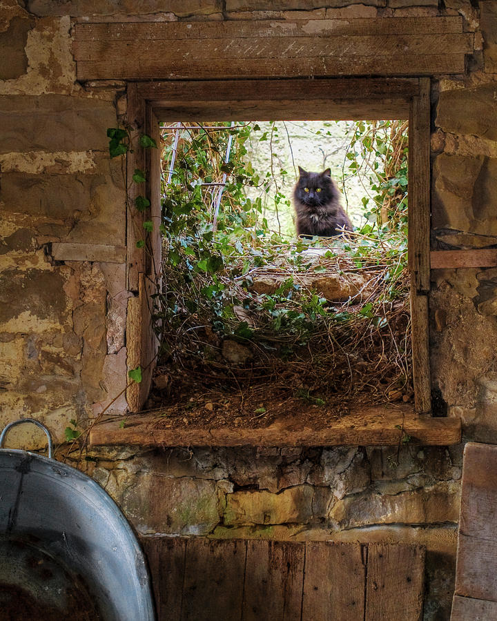 Animals Photograph - The Barn Cat by Ron  McGinnis