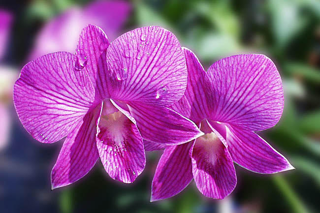 Flowers Photograph - The Beauty Of Orchids by Arvind T Akki