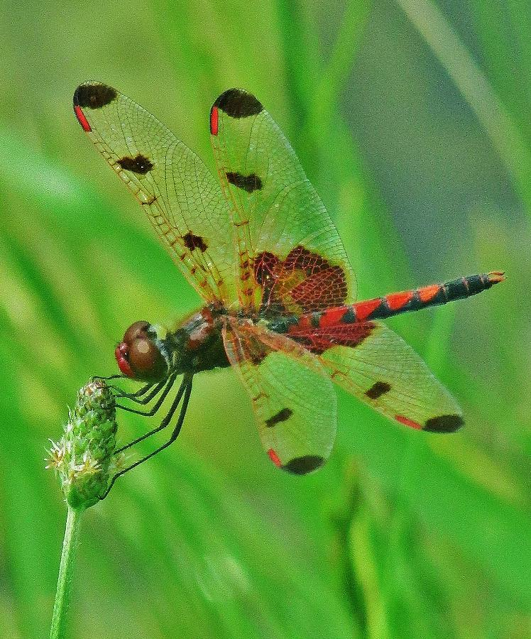 The Dragonfly Photograph by Thomas  McGuire