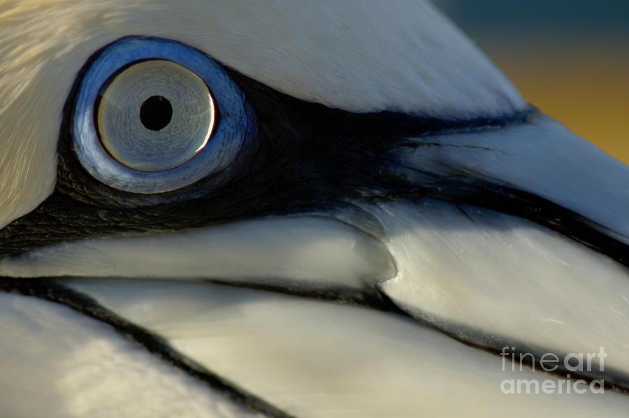 Animal Photograph - The Eye Of A Northern Gannet by Sami Sarkis