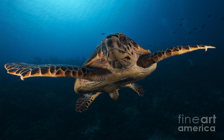 Eretmochelys Imbricata Photograph - The Hawksbill Sea Turtle, Bonaire by Terry Moore