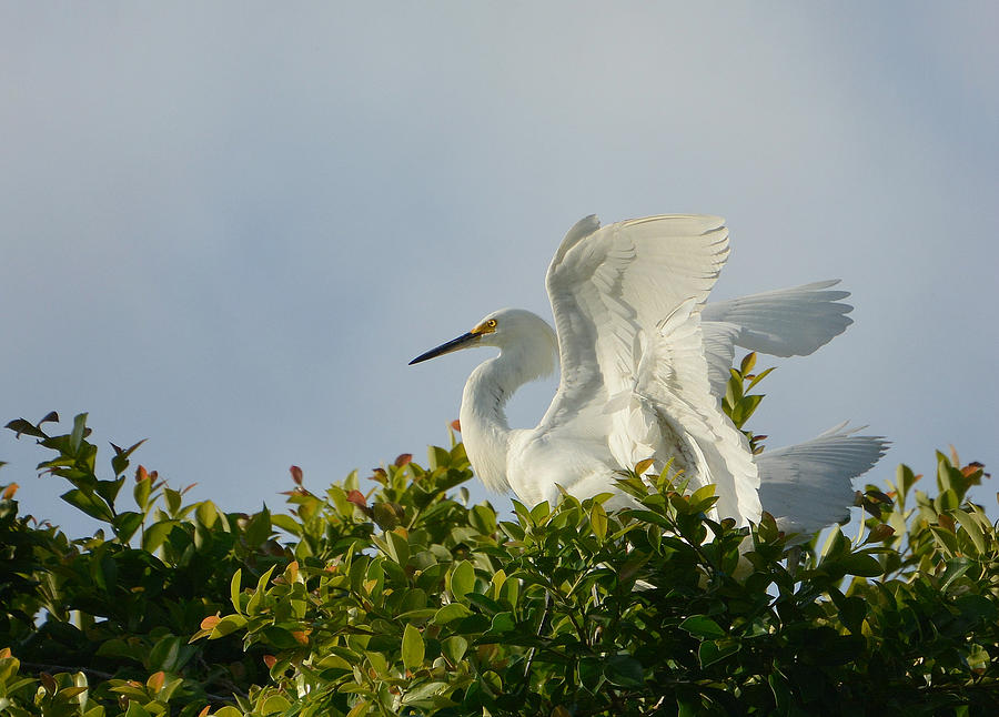 Snowy White Egret Photograph - The Light From Above by Fraida Gutovich