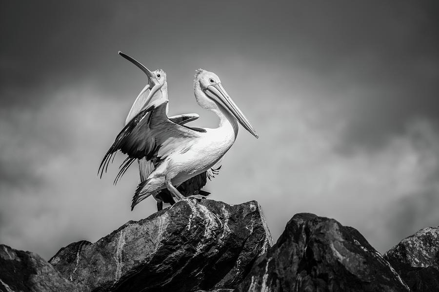 The Pelicans Photograph
