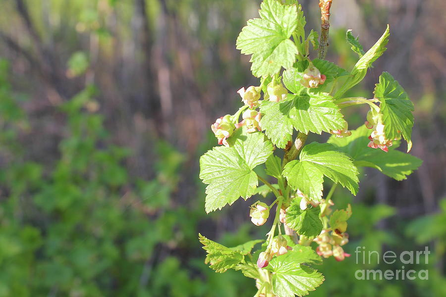 The Photo Shows A Fragment Of A Branch With Flowers Of Red Currant Photograph