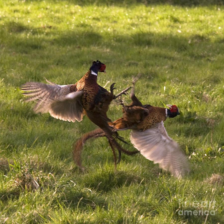 Pheasant Photograph - The Sparring by Angel Ciesniarska