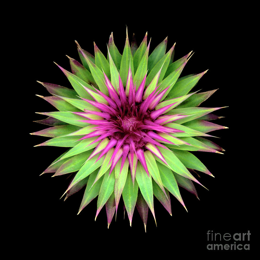 American Photograph - Thistle Eight by Christopher Gruver