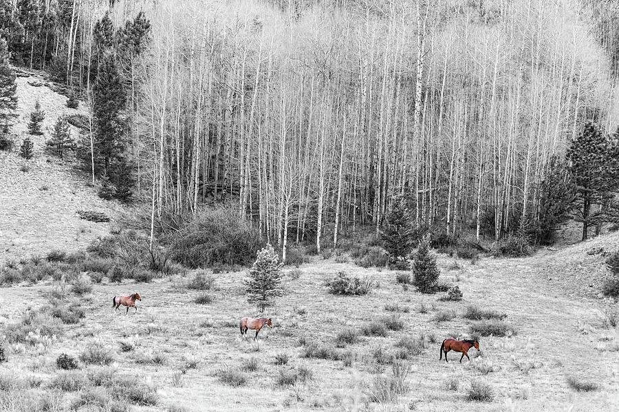 Three Horses Photograph