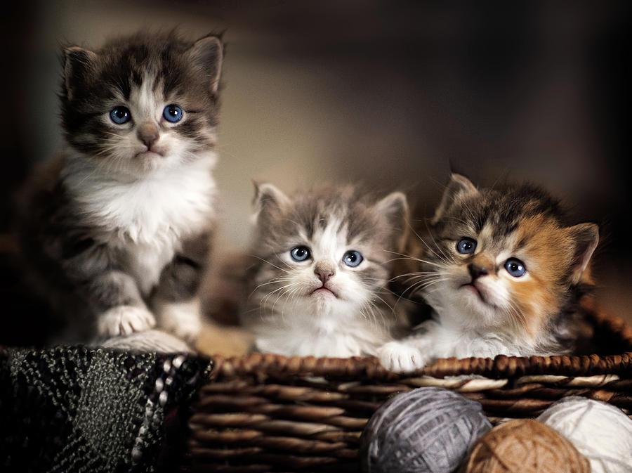 Basket of Kittens Cat Animal Design Drawing Women/'s T Shirt