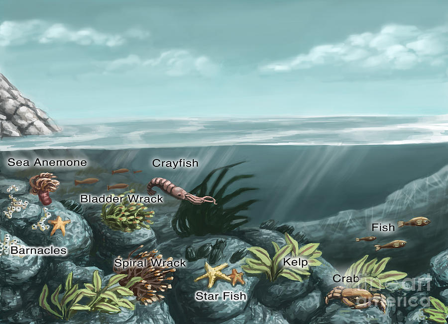 Tide pool ecosystem illustration photograph by spencer sutton for Ecosystem pool