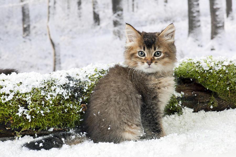 Tiffanie Kitten Photograph By John Daniels