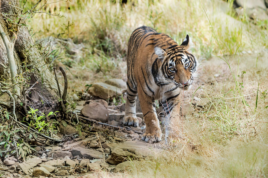 Tiger Photograph - Tiger In The Woods by Pravine Chester