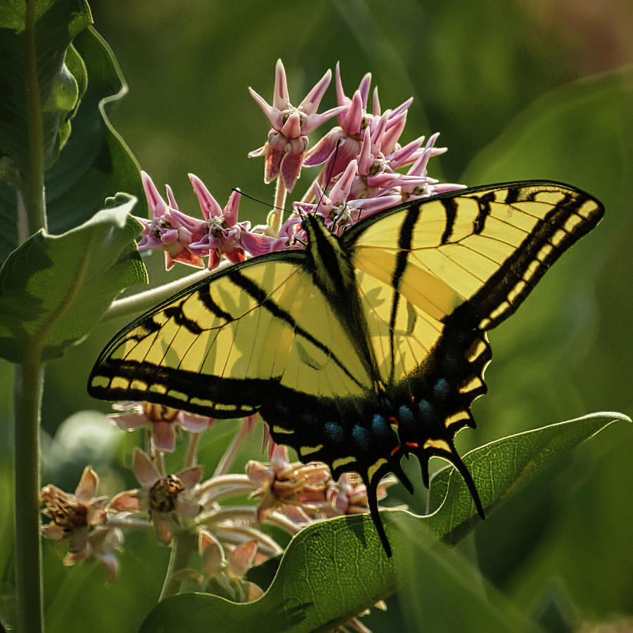 Tiger Swallowtail Butterfly Photograph - Tiger Swallowtail 1 by Ernie Echols