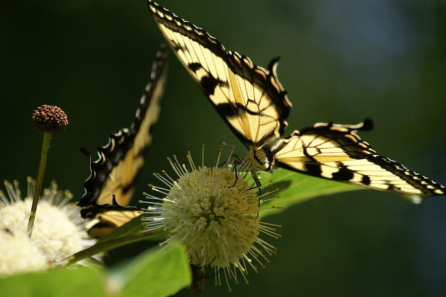 Nature Photograph - Tiger Swallowtail by Heidi Poulin