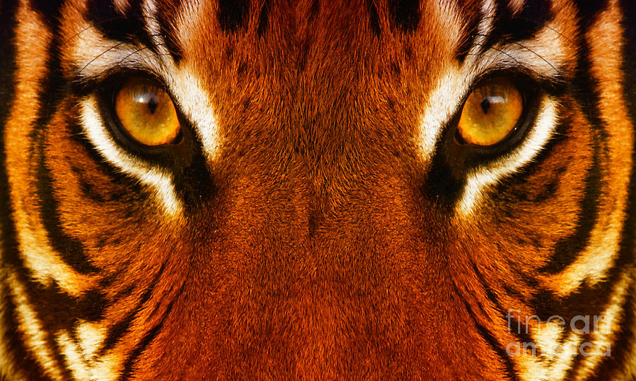 Eyes Photograph - Tiger by White Stork Gallery