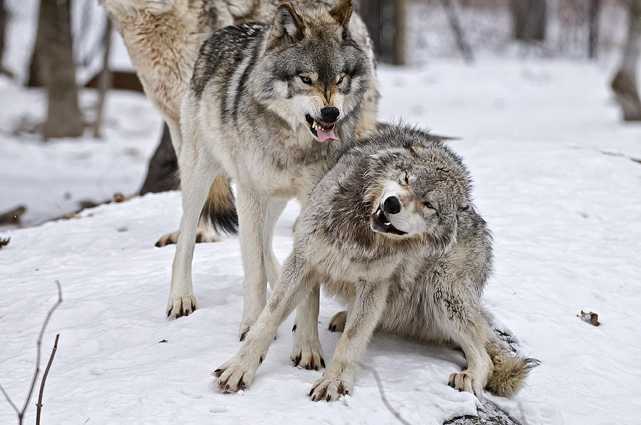 Michael Cummings Photograph - Timber Wolves In Winter by Michael Cummings