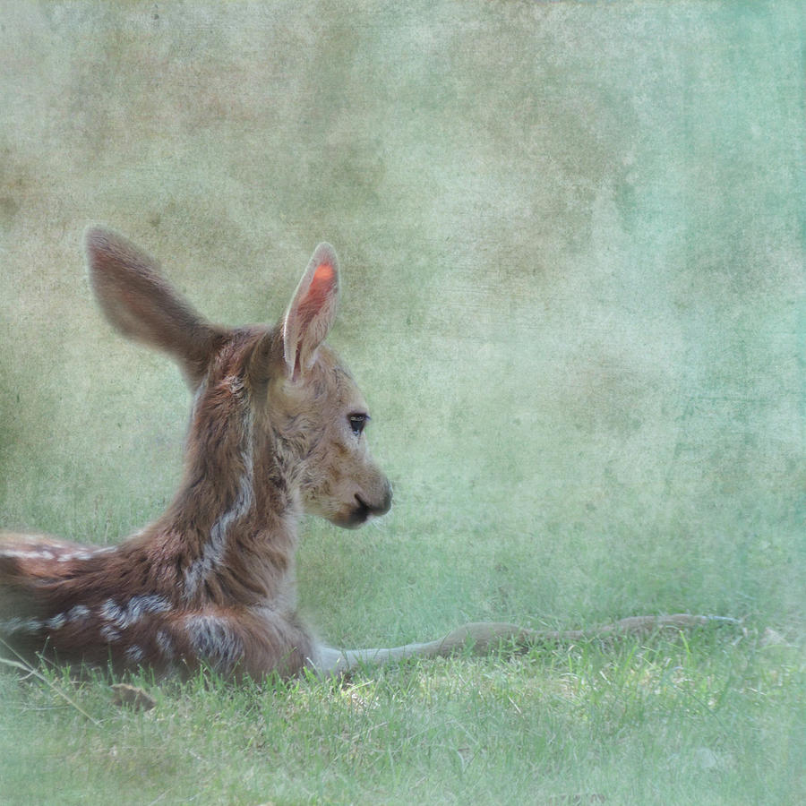 Fawn Photograph - Tranquil by Sally Banfill
