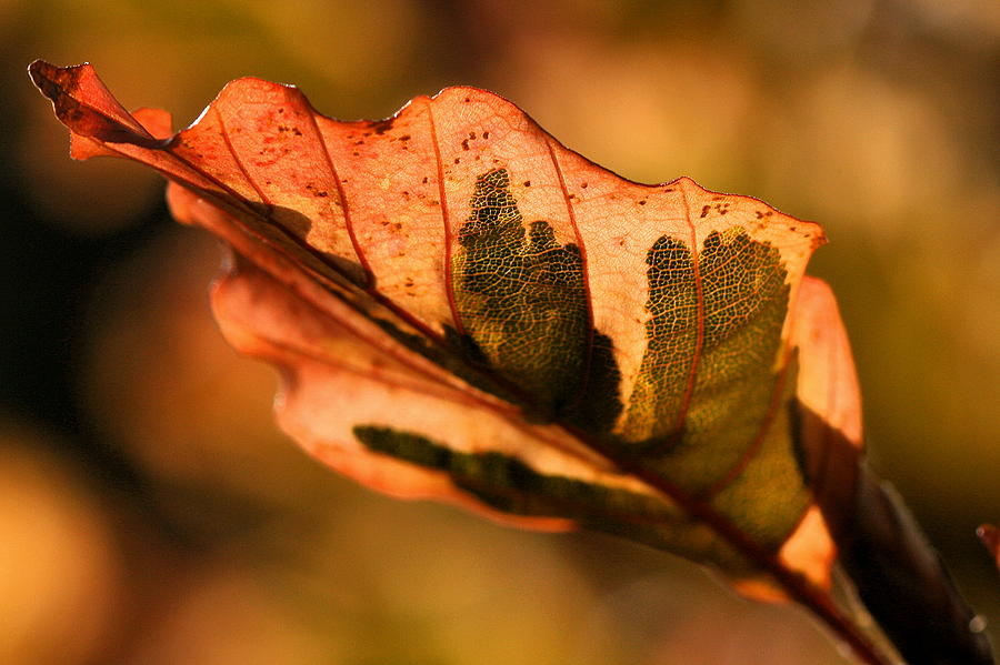 Fall Photograph - Tri-color Beech In Autumn by Angela Rath