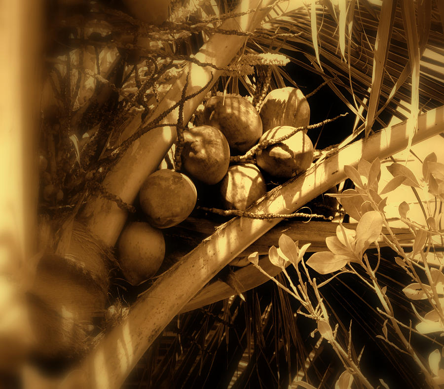 Coconuts Photograph - Tropical Dreams by Susanne Van Hulst