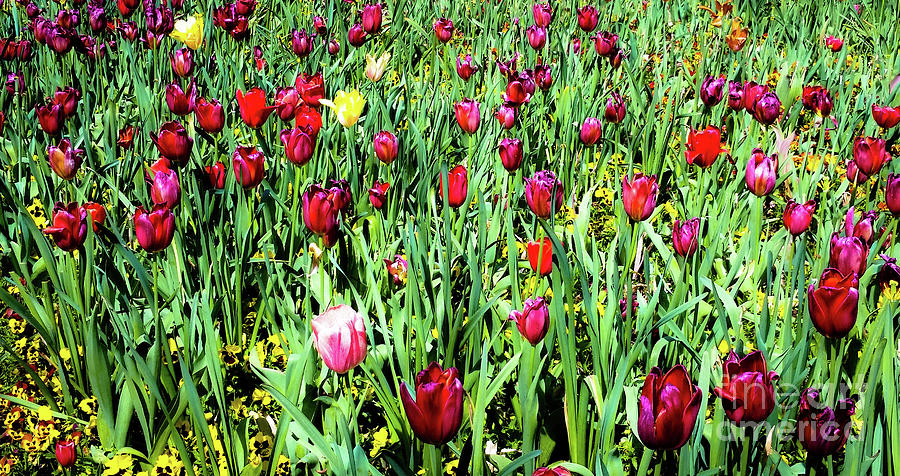 Tulips In Bloom Photograph by D Davila