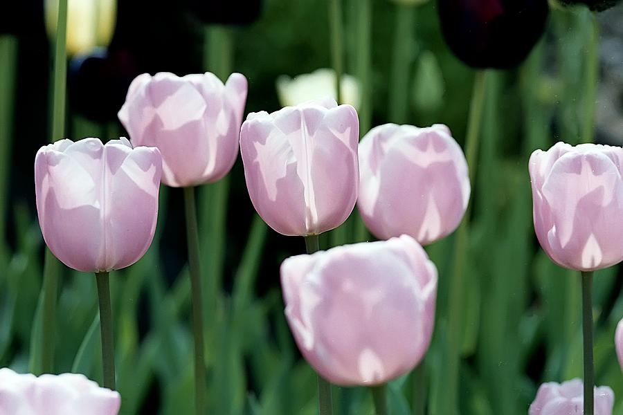 Flowers Photograph - Tulips by Pat Carosone