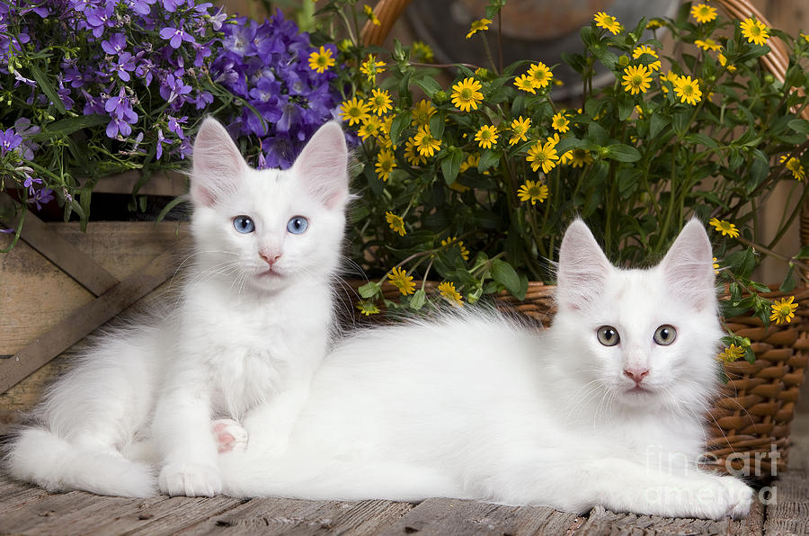 c0241c76bd Cat Photograph - Turkish Angora Kittens by Jean-Michel Labat