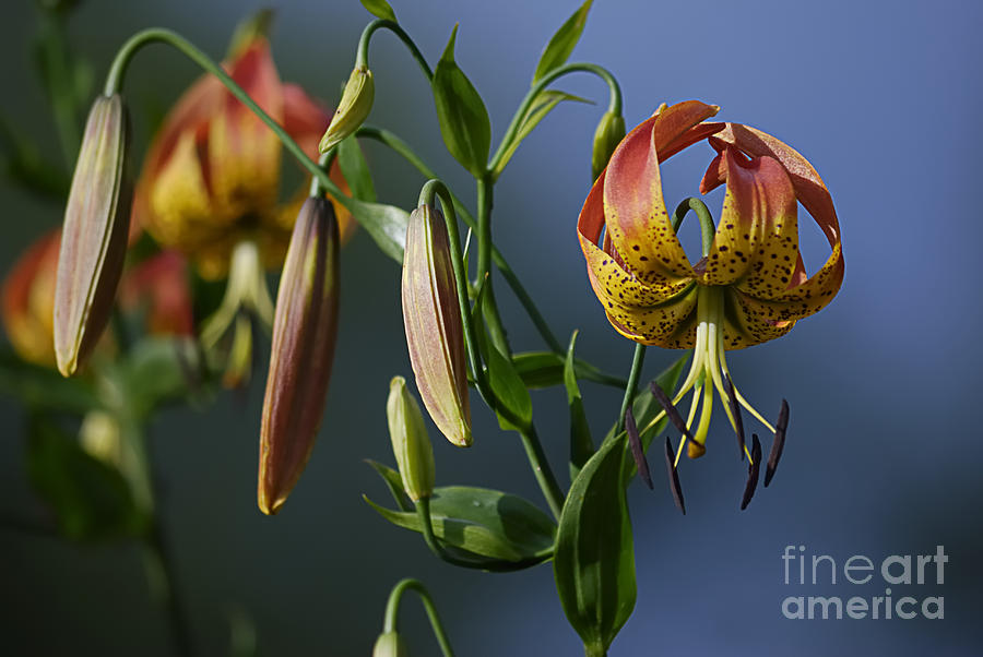 Orange Flowers Photograph - Turks Cap Lily by Randy Bodkins