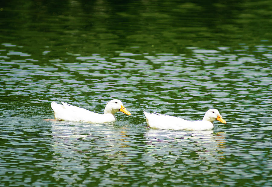 Duck Photograph - Two Ducks by Brian Kinney