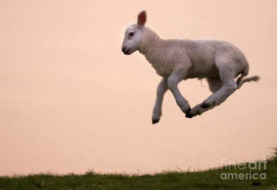 Lamb Photograph - Up To The Sky  by Angel Ciesniarska
