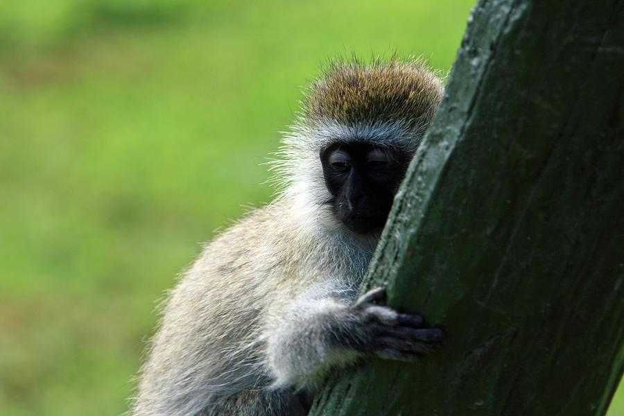 Ape Photograph - Vervet Monkey by Aidan Moran