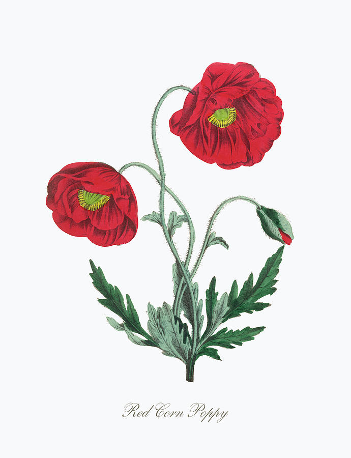 f82f6e71b8c70 Victorian Botanical Illustration Of Red Corn Poppy by Peacock Graphics