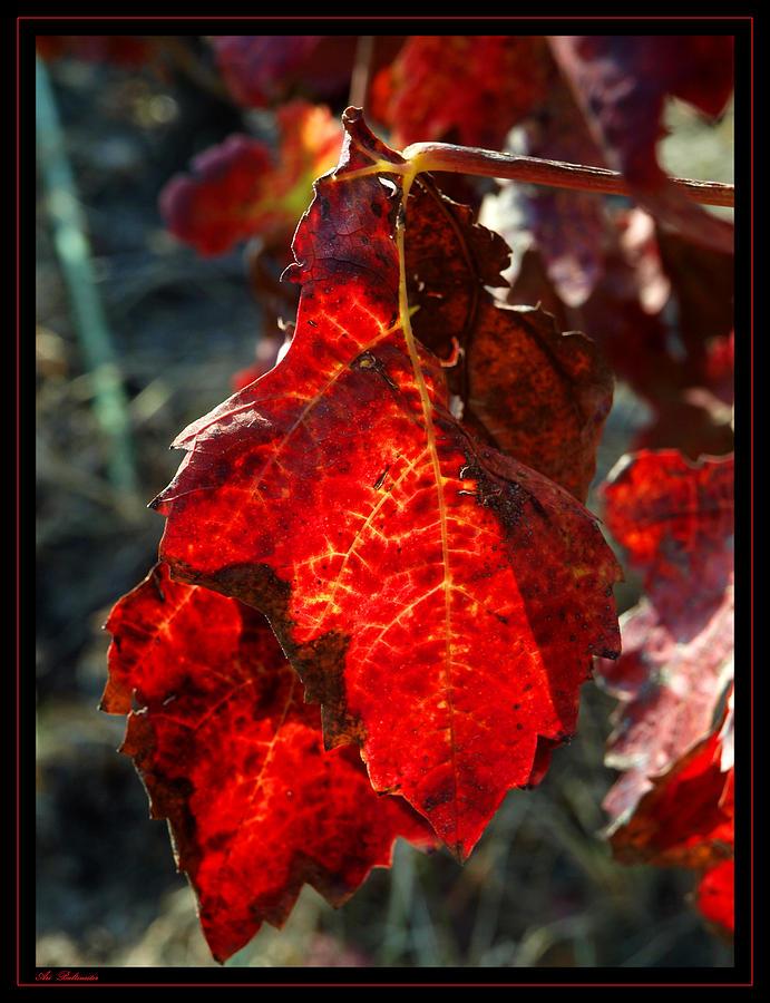 Vine Photograph - Vine Leaf At Fall by Arik Baltinester