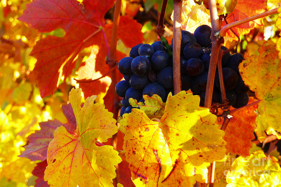 Grapes On The Vine Photograph - Vineyard 16 by Xueling Zou