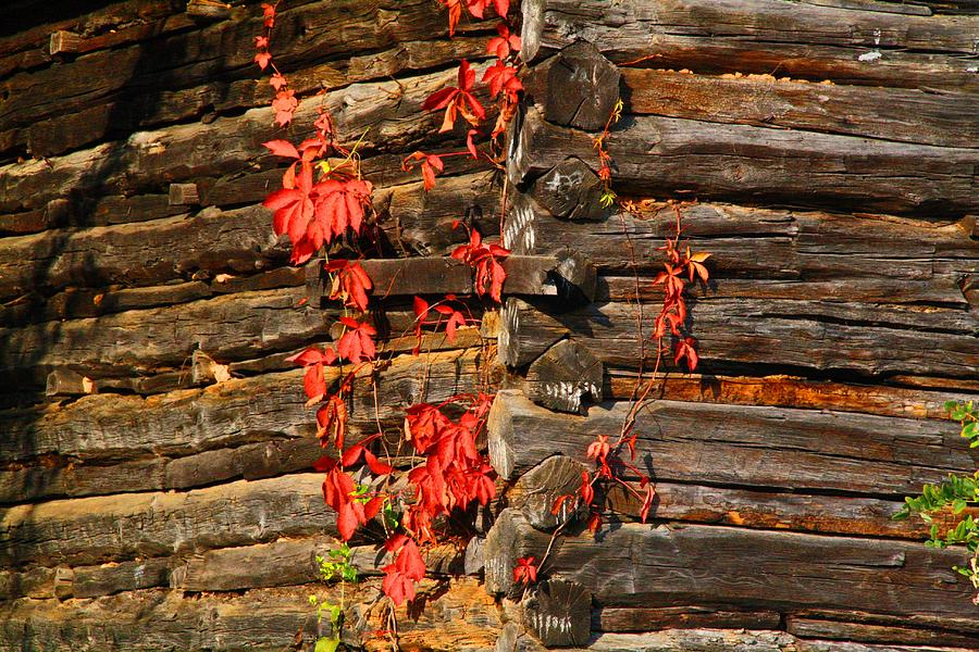Virginia Creeper Photograph - Virginia Creeper by Kathryn Meyer
