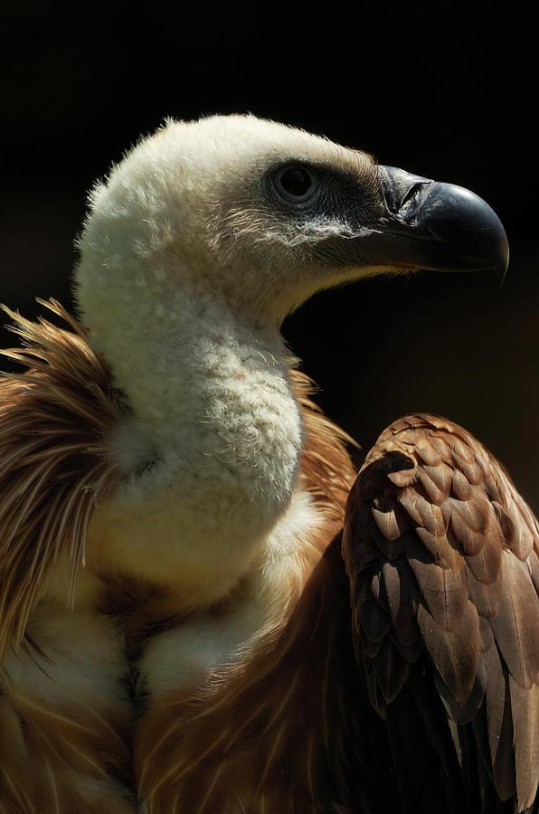Closeup Digital Art - Vulture. Gyps Fulvus by Carlos Perez Muley