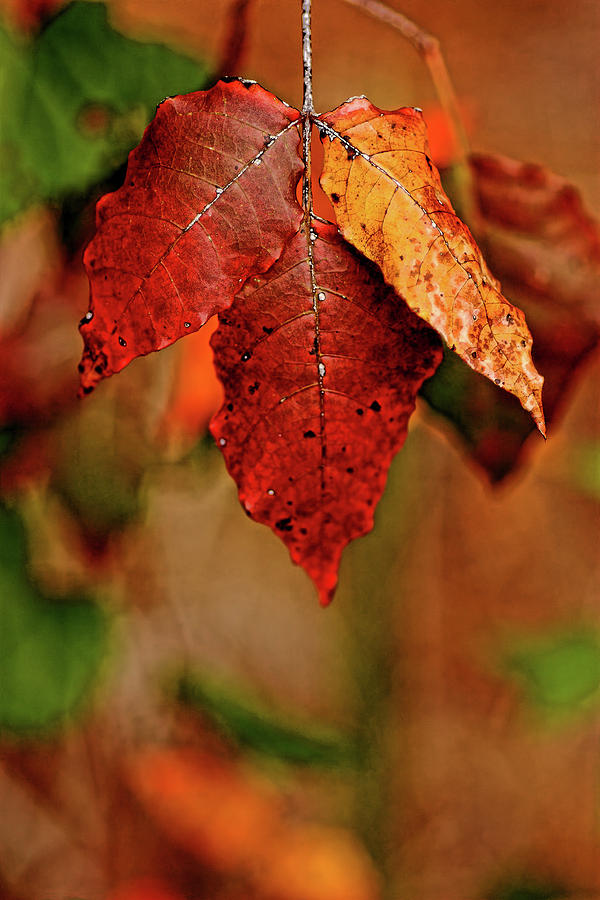 Maple Photograph - Waiting For Fall by Roberto Aloi