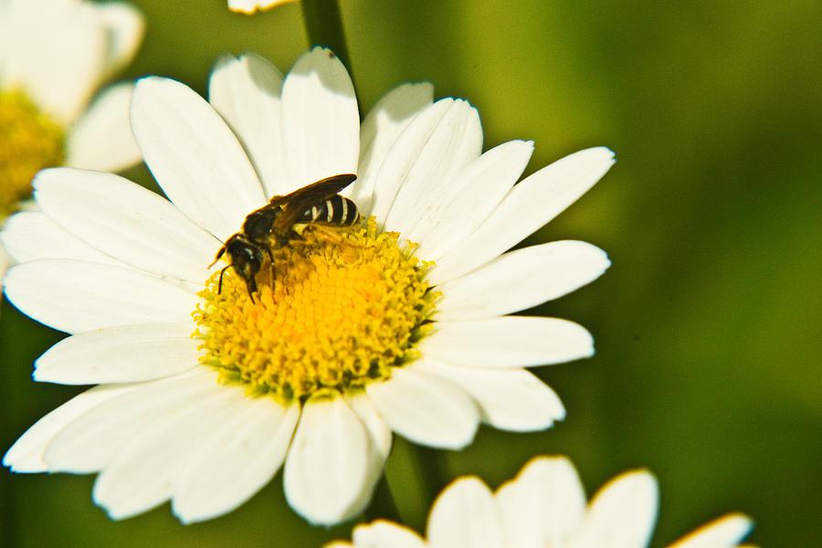 Wasp On Daisy Photograph