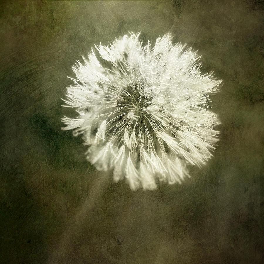 Water Drops On Dandelion Flower Photograph