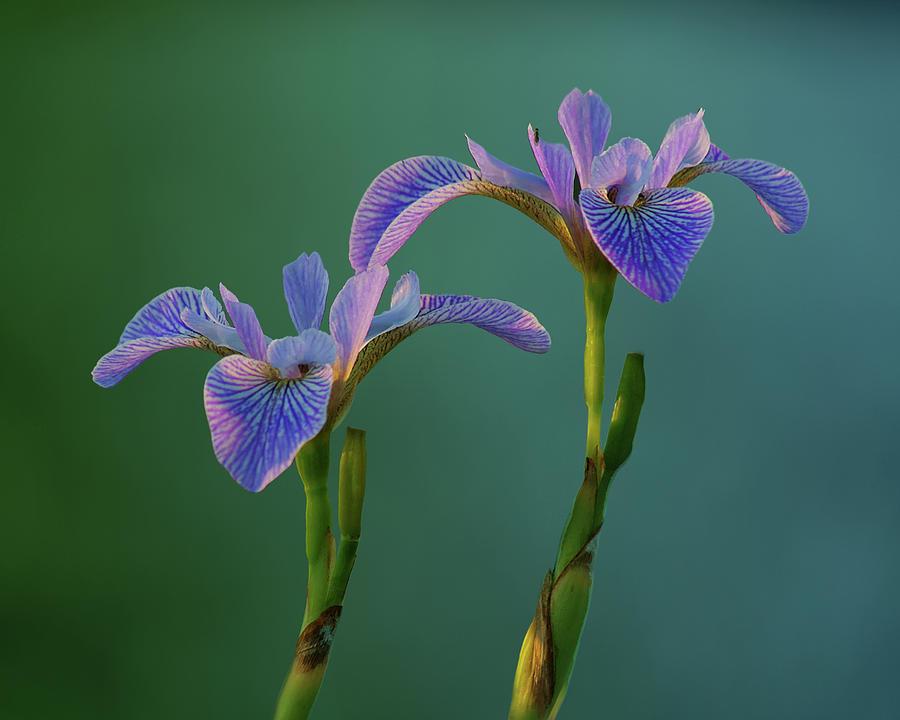 Flowers Photograph - Water Iris by Nikolyn McDonald