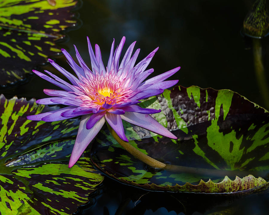 Water Lily by Don L Williams