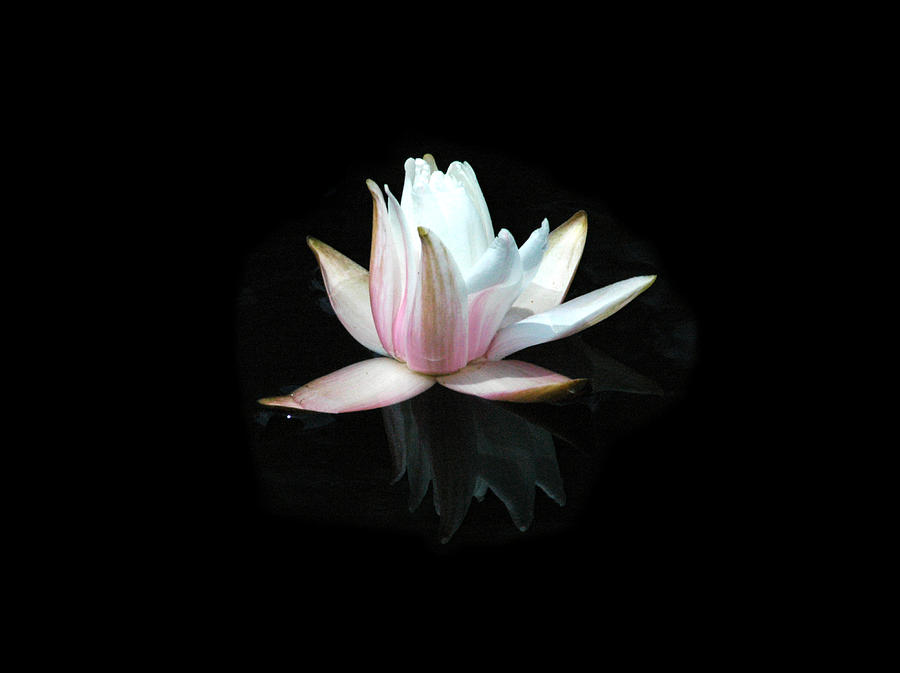 waterlily by David Weeks