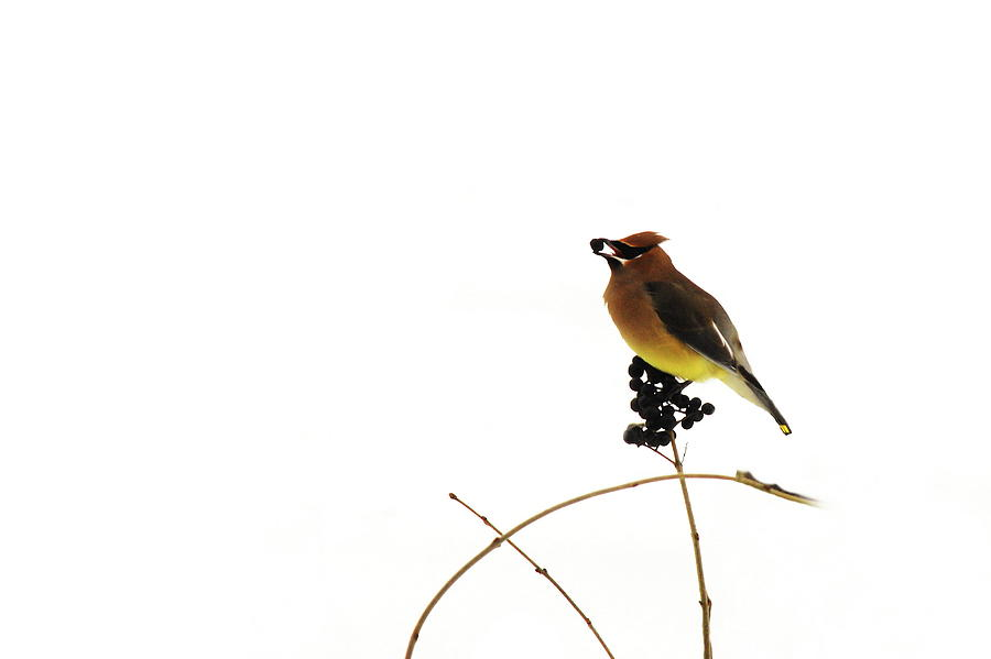 Waxwing Photograph - Waxwing Wonders by Andrea Kollo