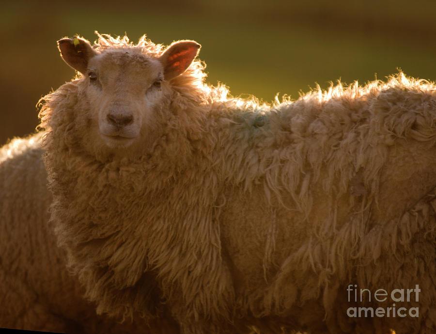 Lamb Photograph - Welsh Lamb In Sunny Sauce by Angel  Tarantella