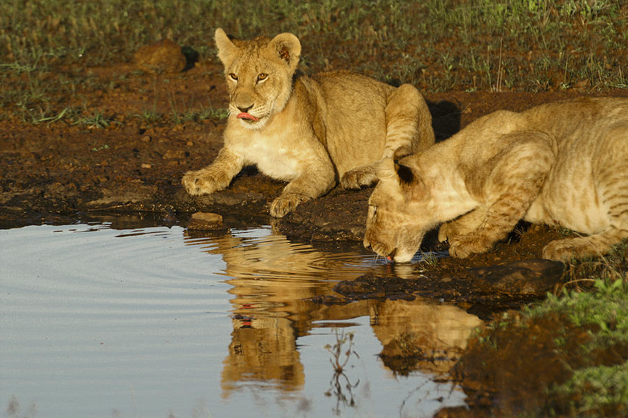 Lion Photograph - Were Thirsty by Michele Burgess